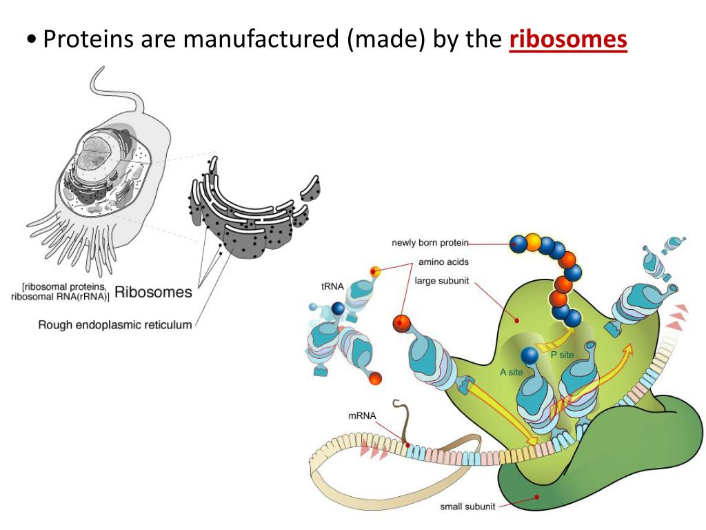 PPT - Protein Synthesis (Gene Expression) Notes Proteins ...