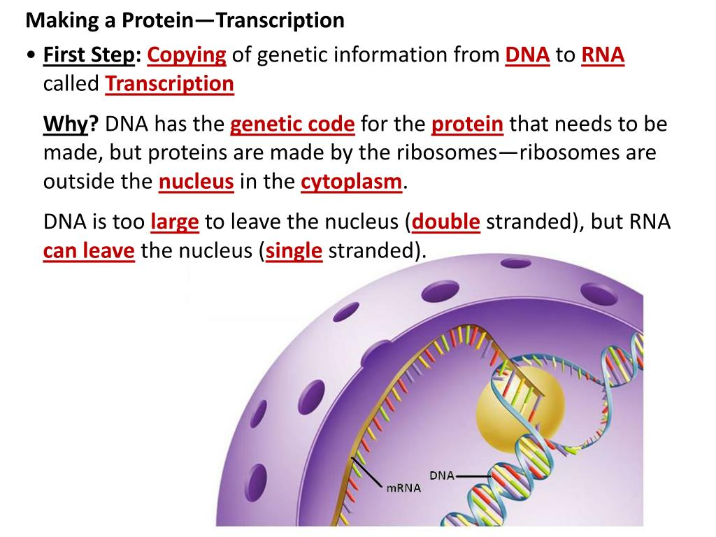 2 steps of protein synthesis Steps in protein synthesis: step 1: the first step in protein synthesis is the transcription of mrna from a dna gene in the nucleus at some other prior time, the various other types of rna have been synthesized using the appropriate dna.