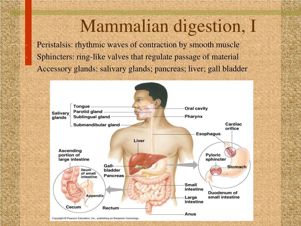 Mammalian digestion, I