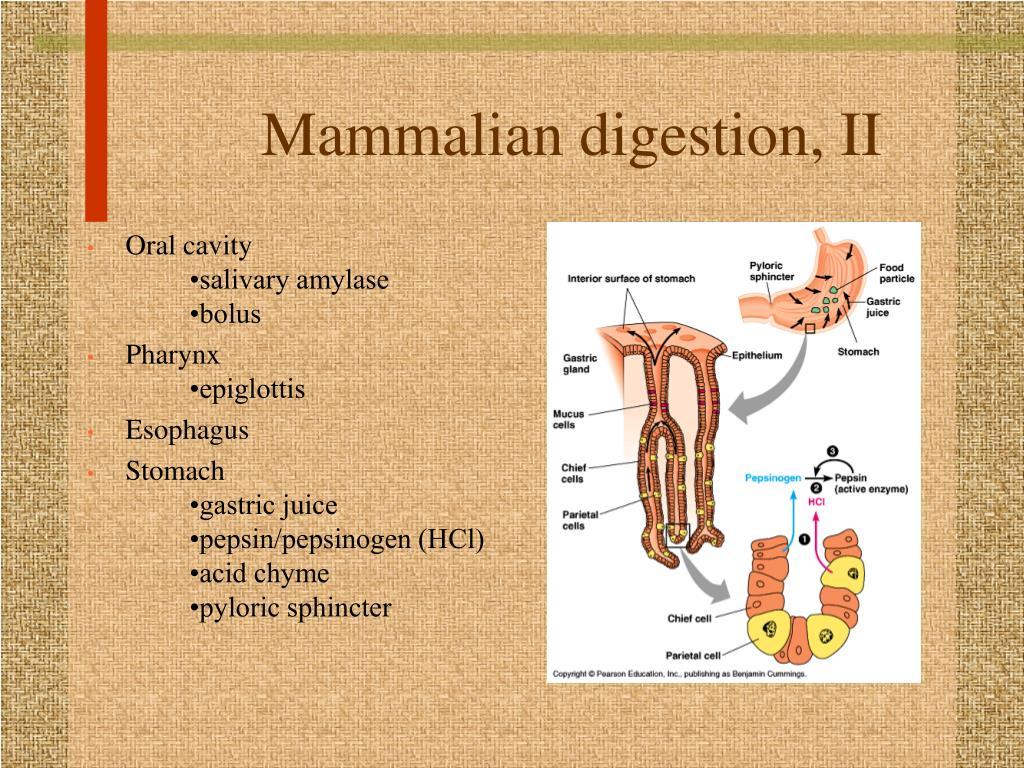 Mammalian digestion, II