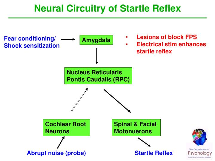 Neural Circuitry of Startle Reflex