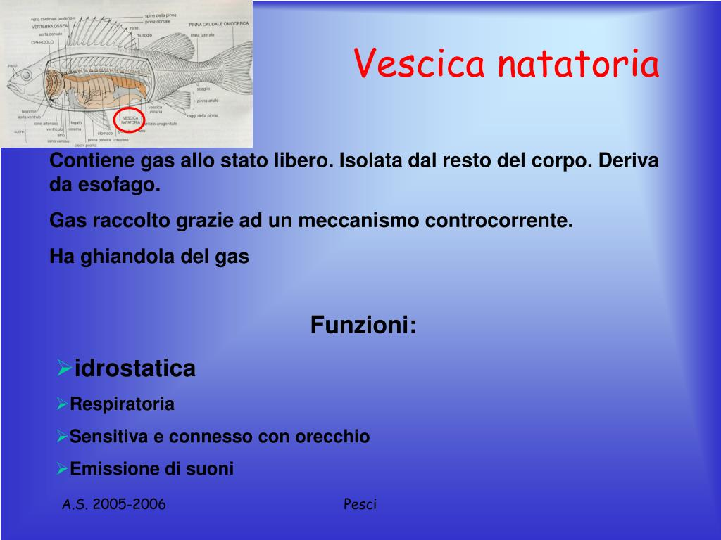 Vescica natatoria