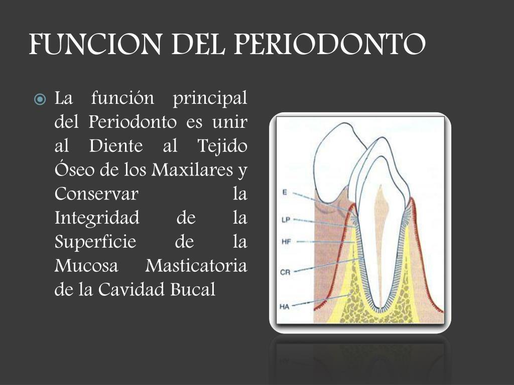 FUNCION DEL PERIODONTO