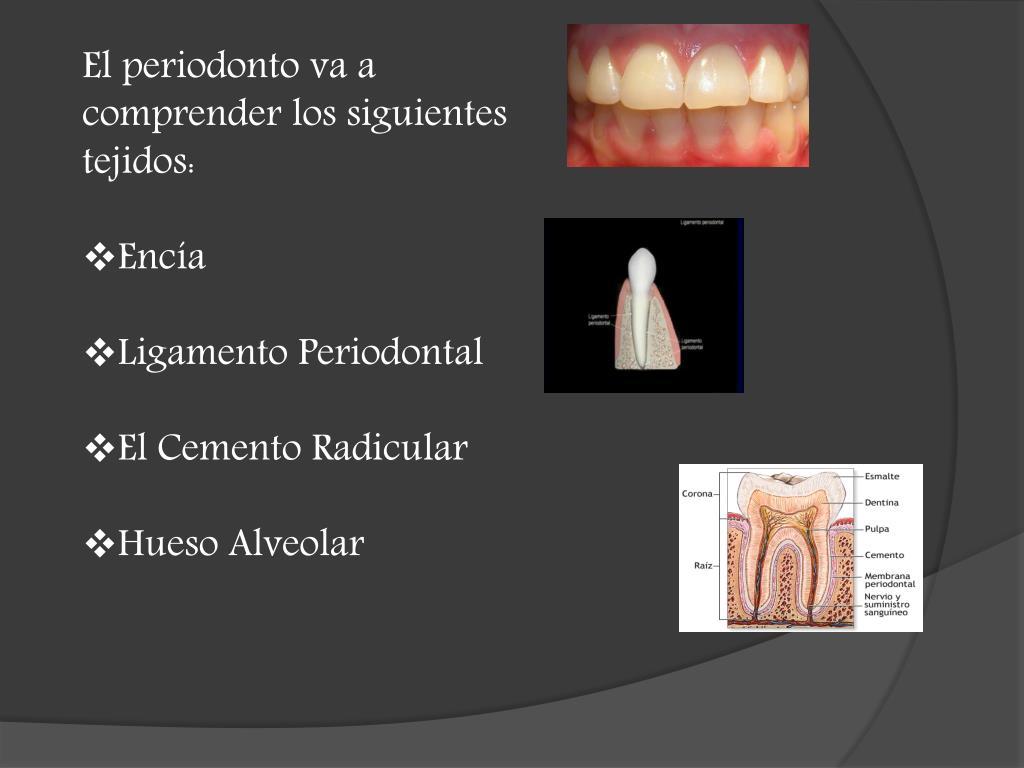 El periodonto va a comprender los siguientes tejidos: