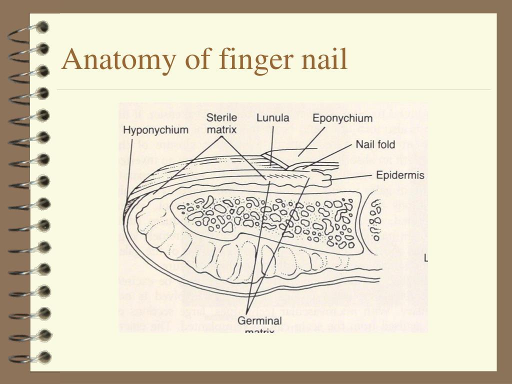 Anatomy of finger nail