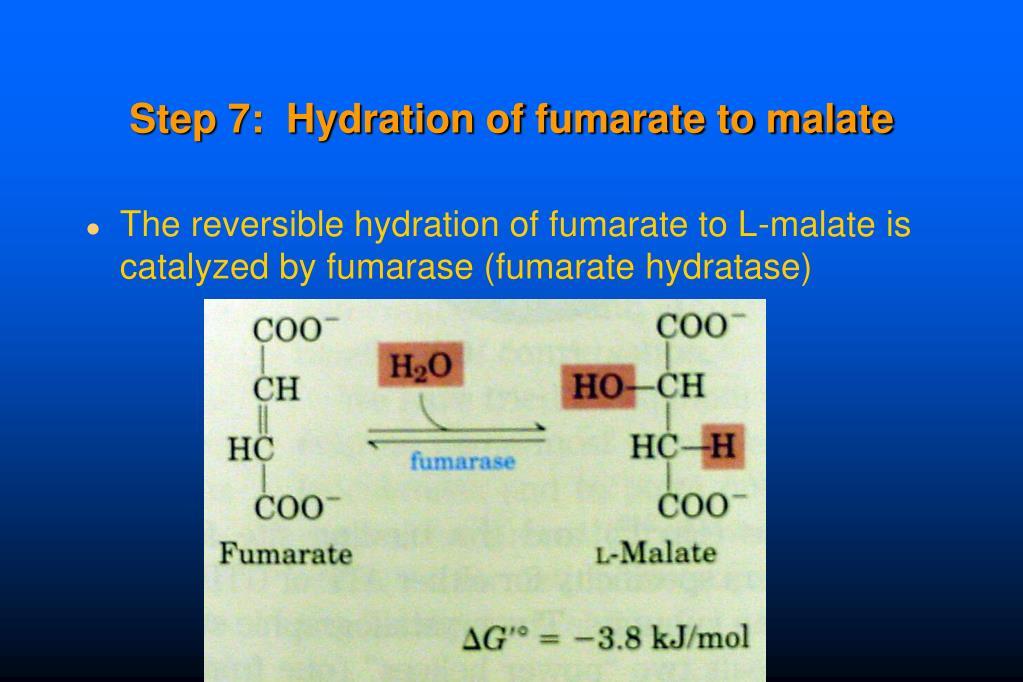 Step 7:  Hydration of fumarate to malate