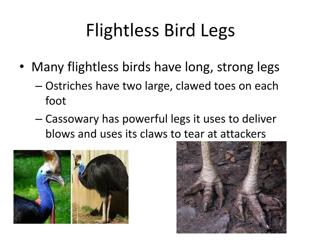 Flightless Bird Legs