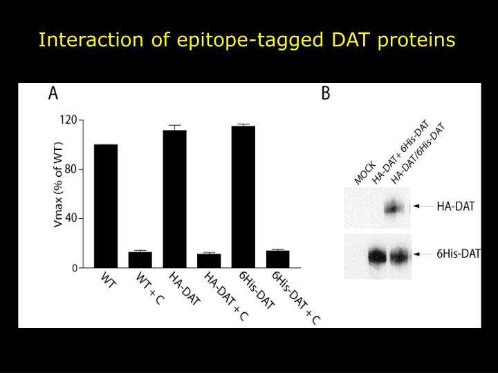 Interaction of epitope-tagged DAT proteins