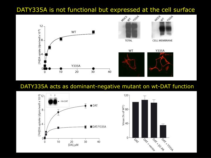 DATY335A is not functional but expressed at the cell surface