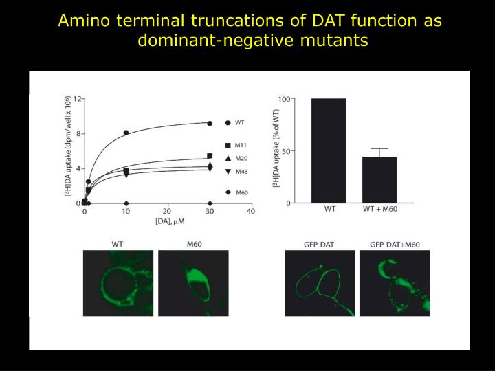 Amino terminal truncations of DAT function as