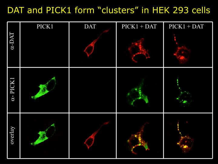 """DAT and PICK1 form """"clusters"""" in HEK 293 cells"""