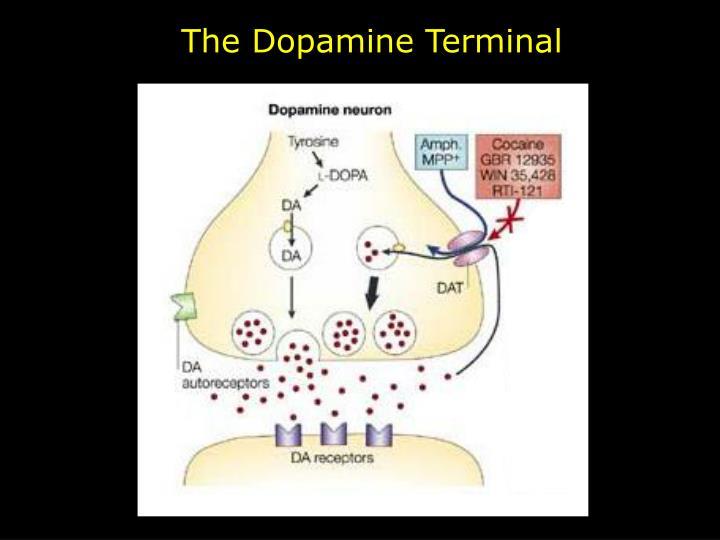The Dopamine Terminal