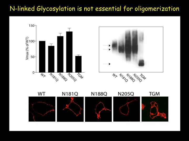 N-linked Glycosylation is not essential for oligomerization