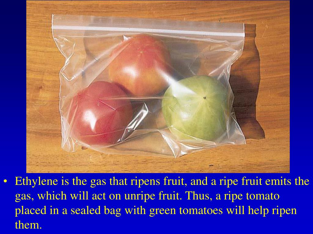 Ethylene is the gas that ripens fruit, and a ripe fruit emits the gas, which will act on unripe fruit. Thus, a ripe tomato placed in a sealed bag with green tomatoes will help ripen them.