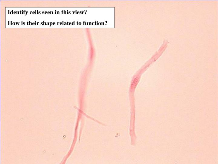 Identify cells seen in this view?