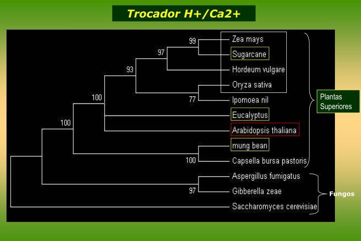 Trocador H+/Ca2+