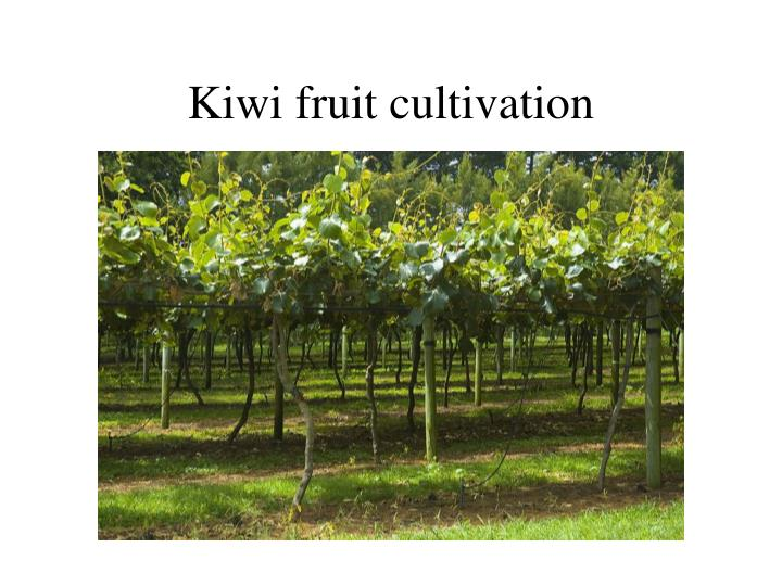 Kiwi fruit cultivation