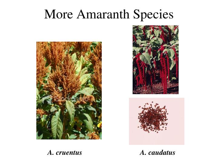 More Amaranth Species