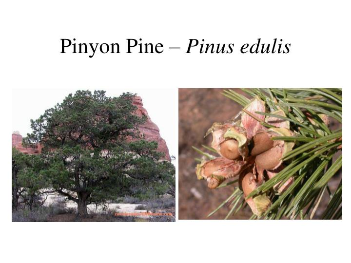 Pinyon Pine –