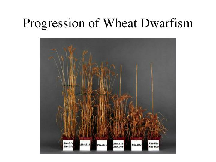 Progression of Wheat Dwarfism