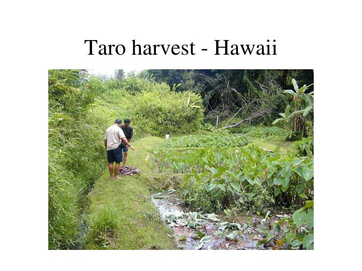 Taro harvest - Hawaii