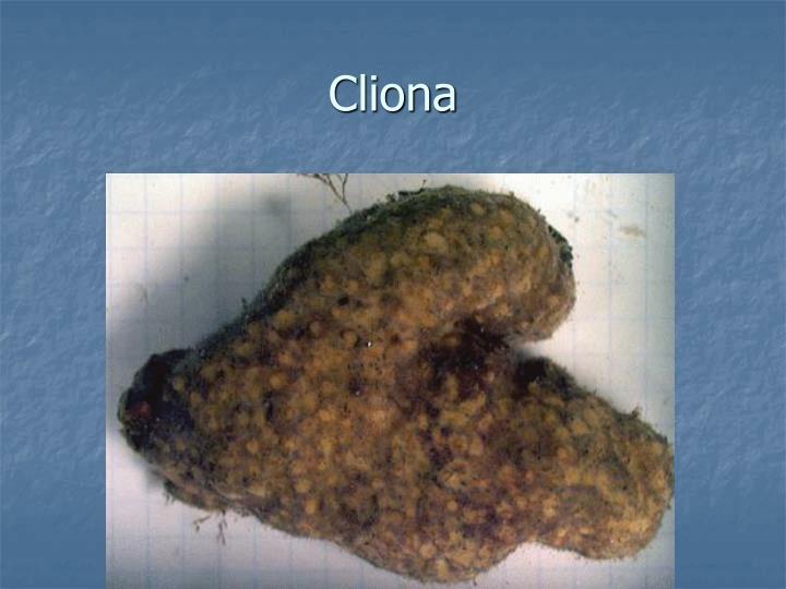 Cliona