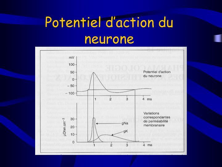 Potentiel d'action du neurone