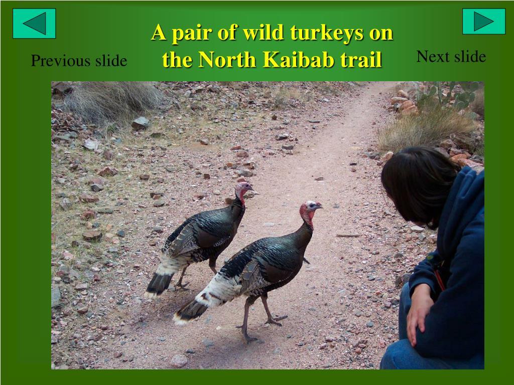 A pair of wild turkeys on the North Kaibab trail