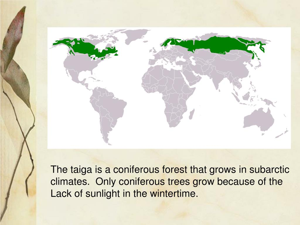 The taiga is a coniferous forest that grows in subarctic