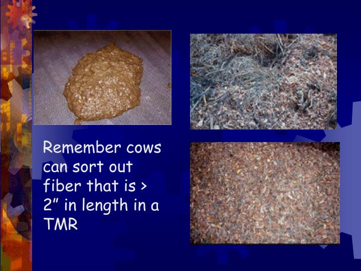 "Remember cows can sort out fiber that is > 2"" in length in a TMR"