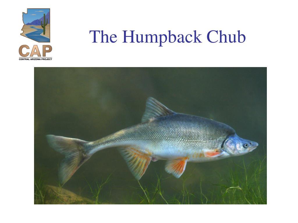 The Humpback Chub