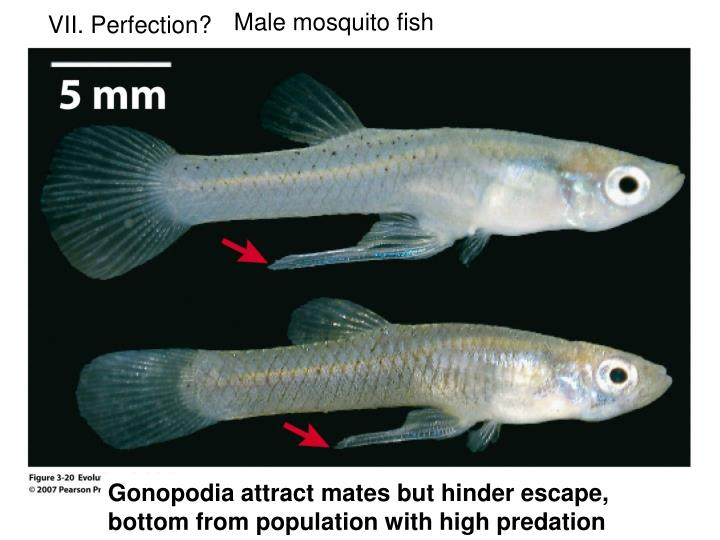 Male mosquito fish