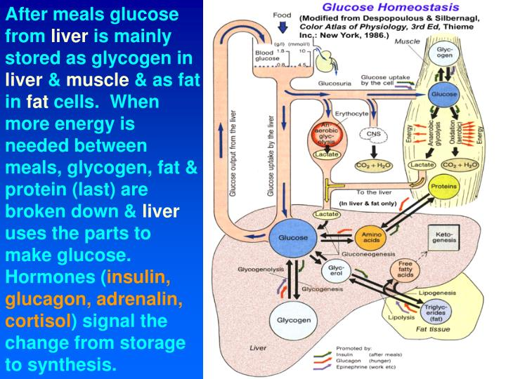 After meals glucose from