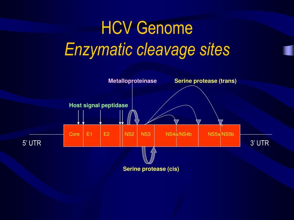 HCV Genome