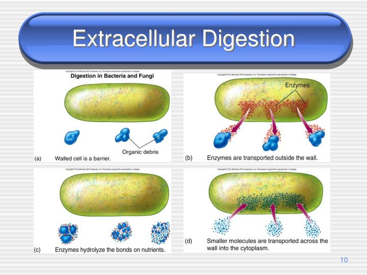 Extracellular Digestion