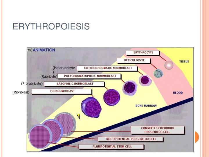 PPT - STRUCTURE AND FUNCTION OF ERYTHROPOIETIC TISSUE ...