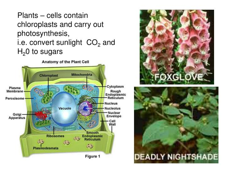 Plants – cells contain chloroplasts and carry out photosynthesis,