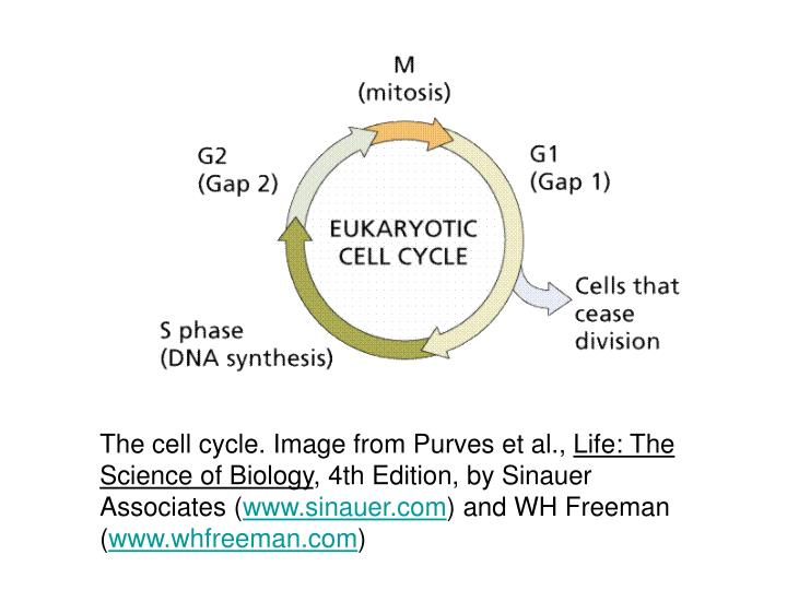 The cell cycle. Image from Purves et al.,