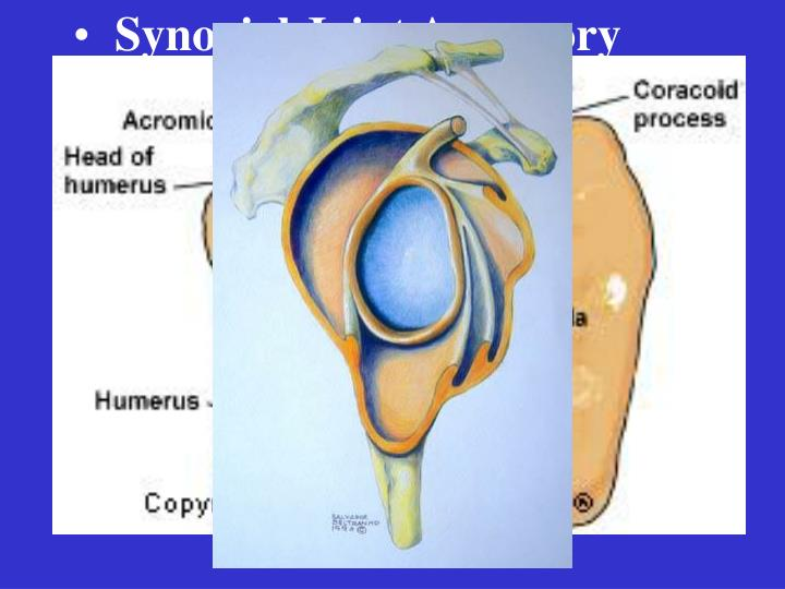 Synovial Joint Accessory Structures