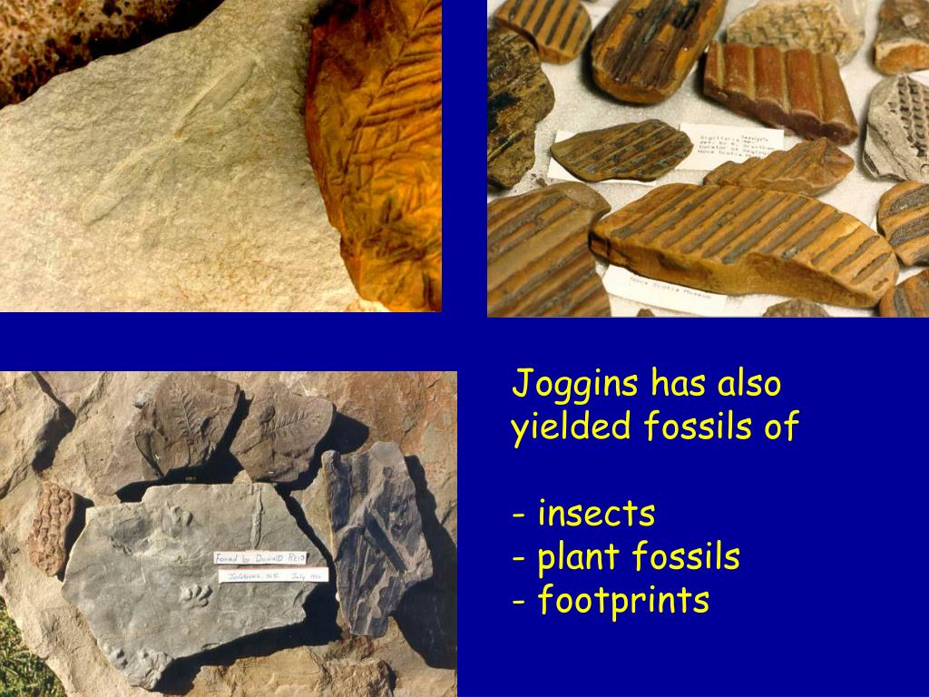 Joggins has also yielded fossils of