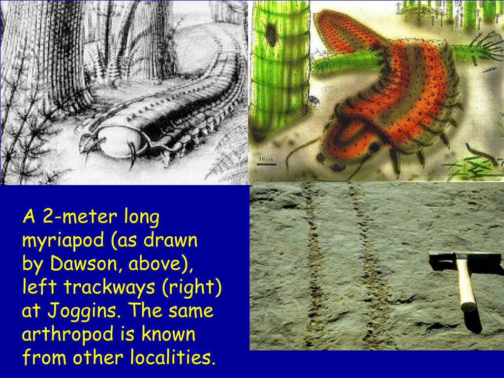 A 2-meter long myriapod (as drawn by Dawson, above),  left trackways (right) at Joggins. The same arthropod is known from other localities.