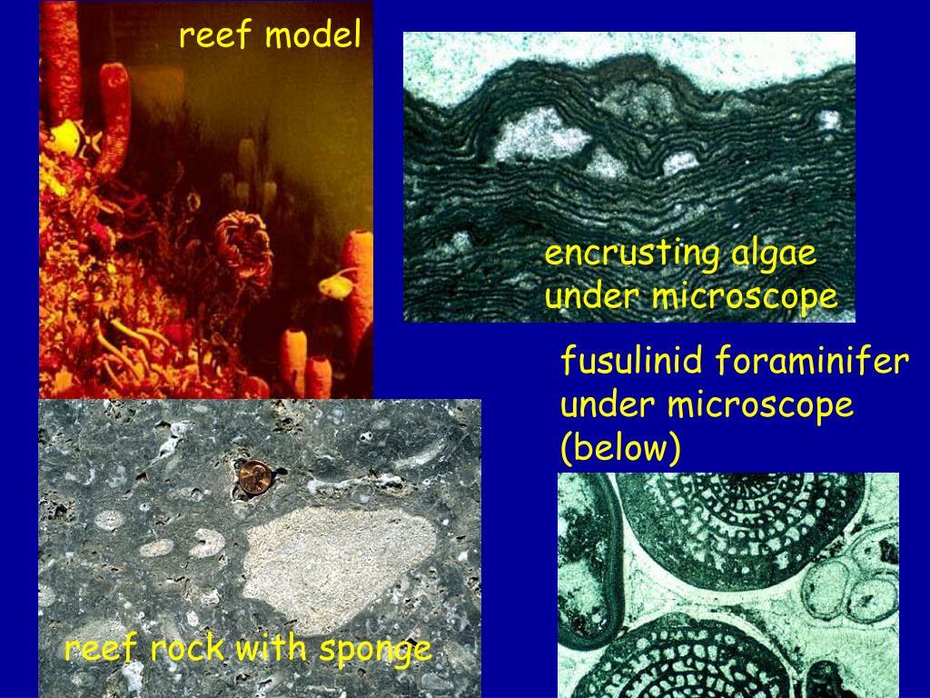 reef model