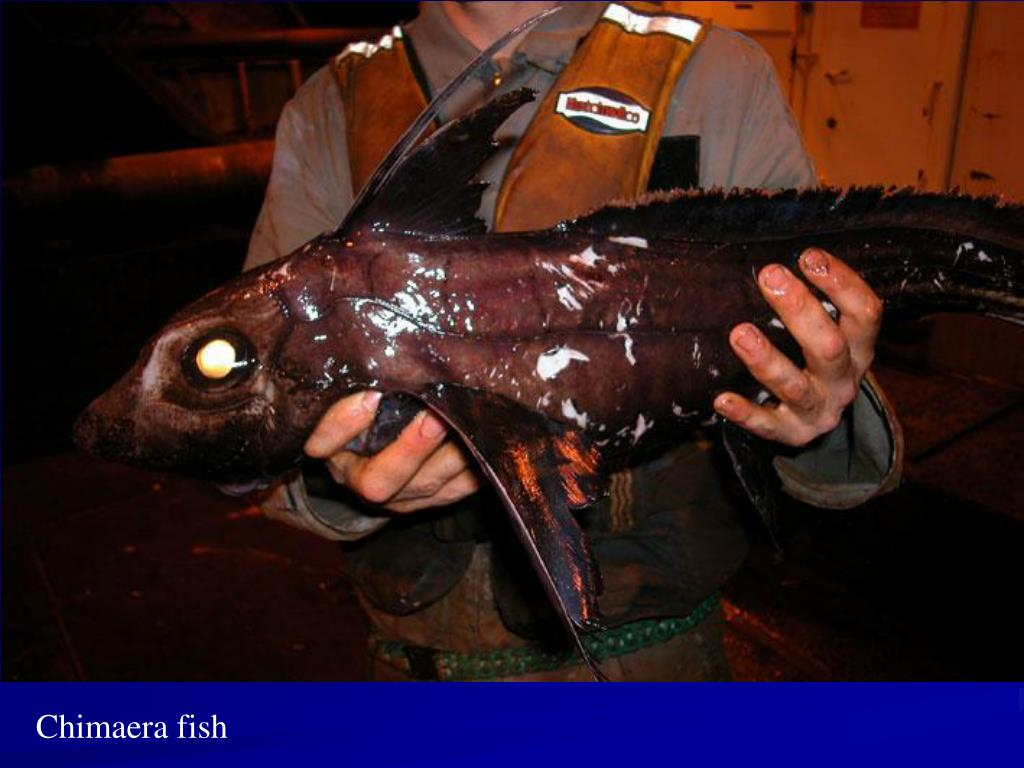 Chimaera fish