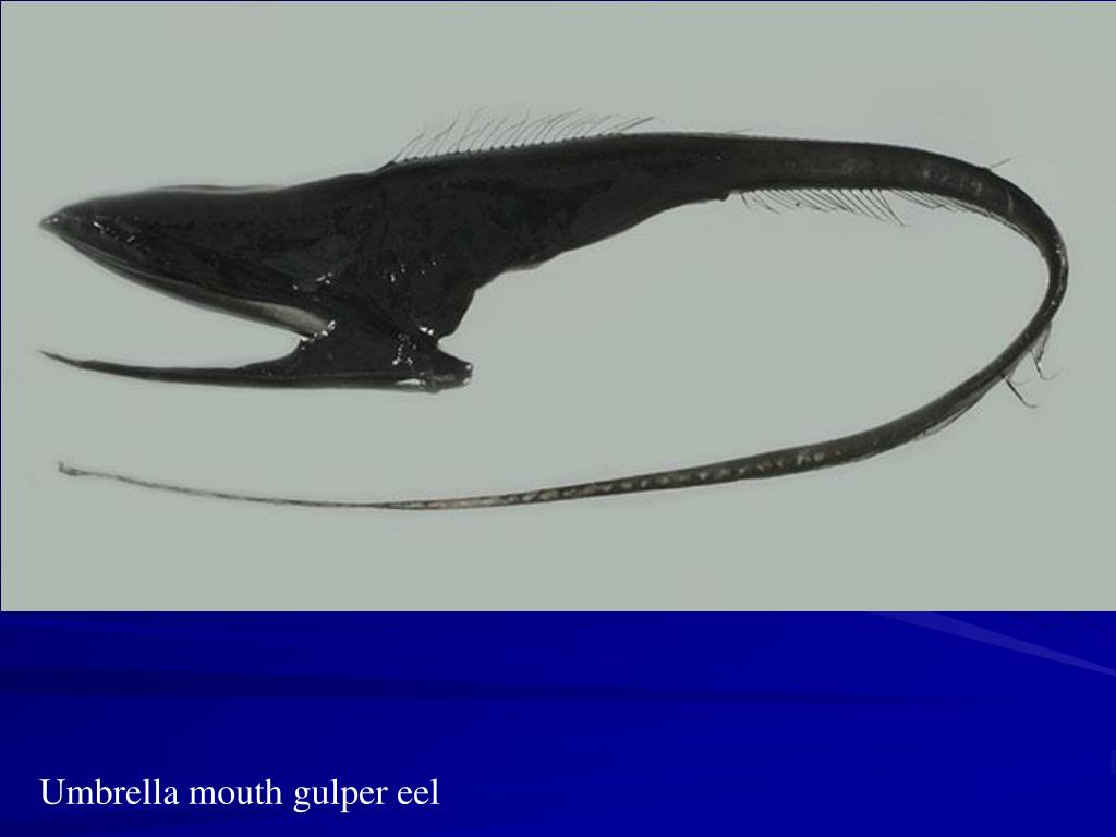 Umbrella mouth gulper eel