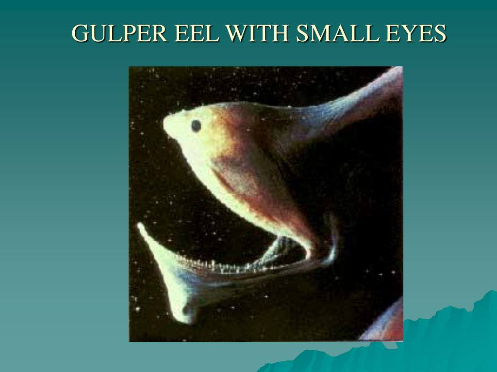 GULPER EEL WITH SMALL EYES