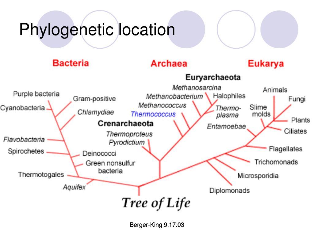 Phylogenetic location