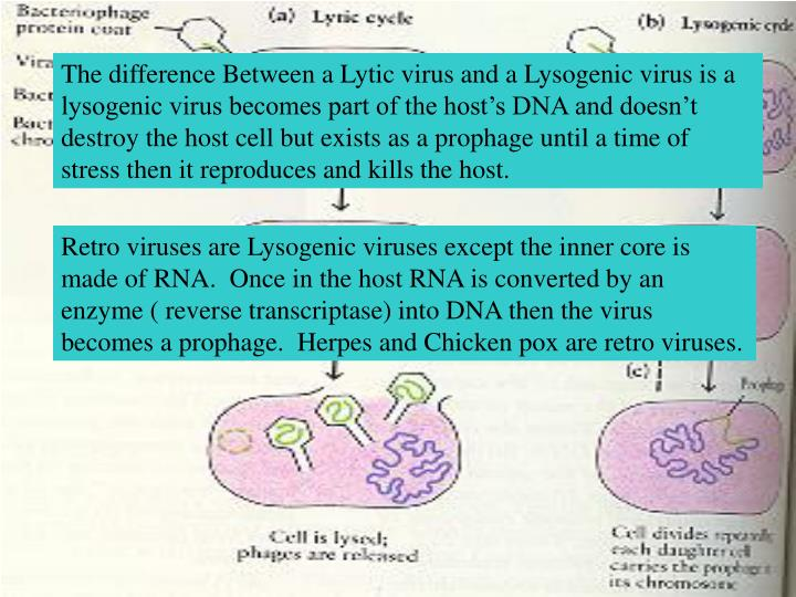 The difference Between a Lytic virus and a Lysogenic virus is a lysogenic virus becomes part of the ...