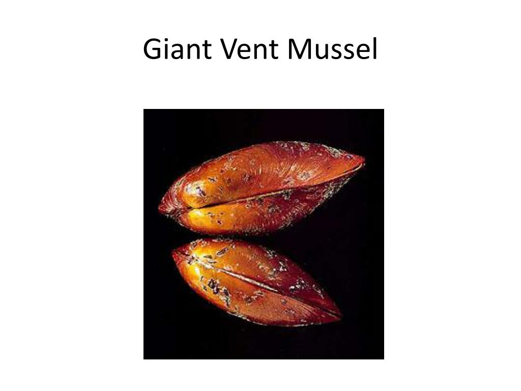 Giant Vent Mussel