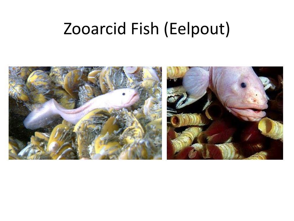 Zooarcid Fish (Eelpout)