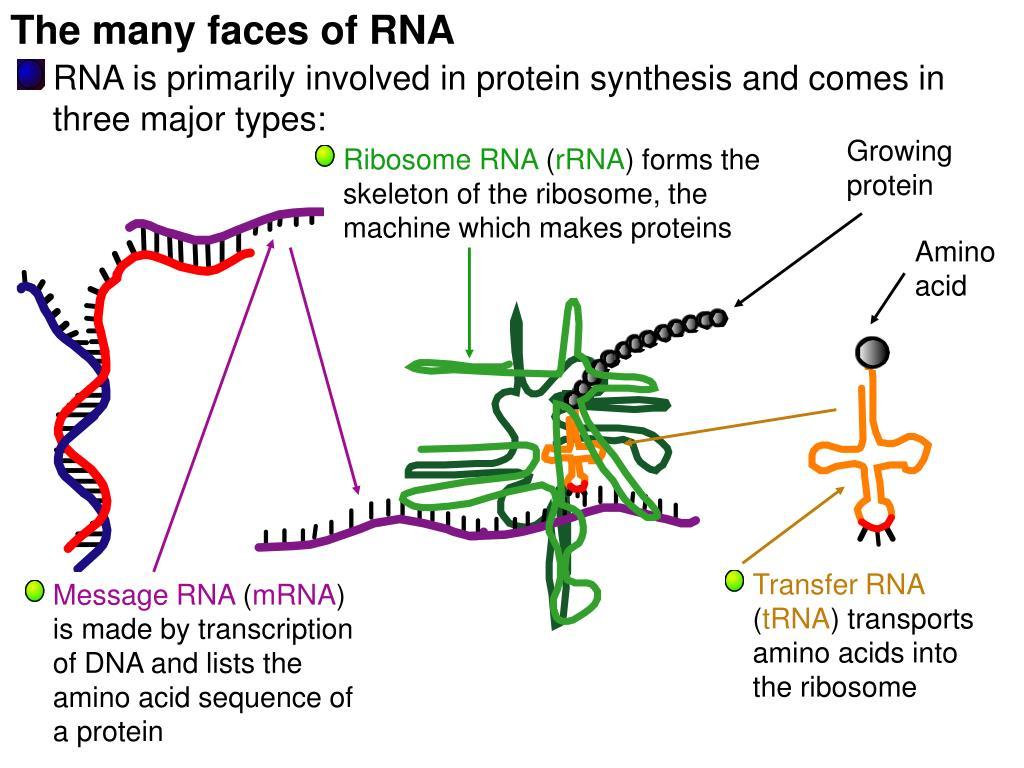 The many faces of RNA